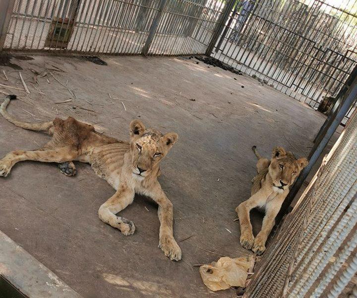 Lavovi u sudanskom zoološkom vrtu umiru od gladi