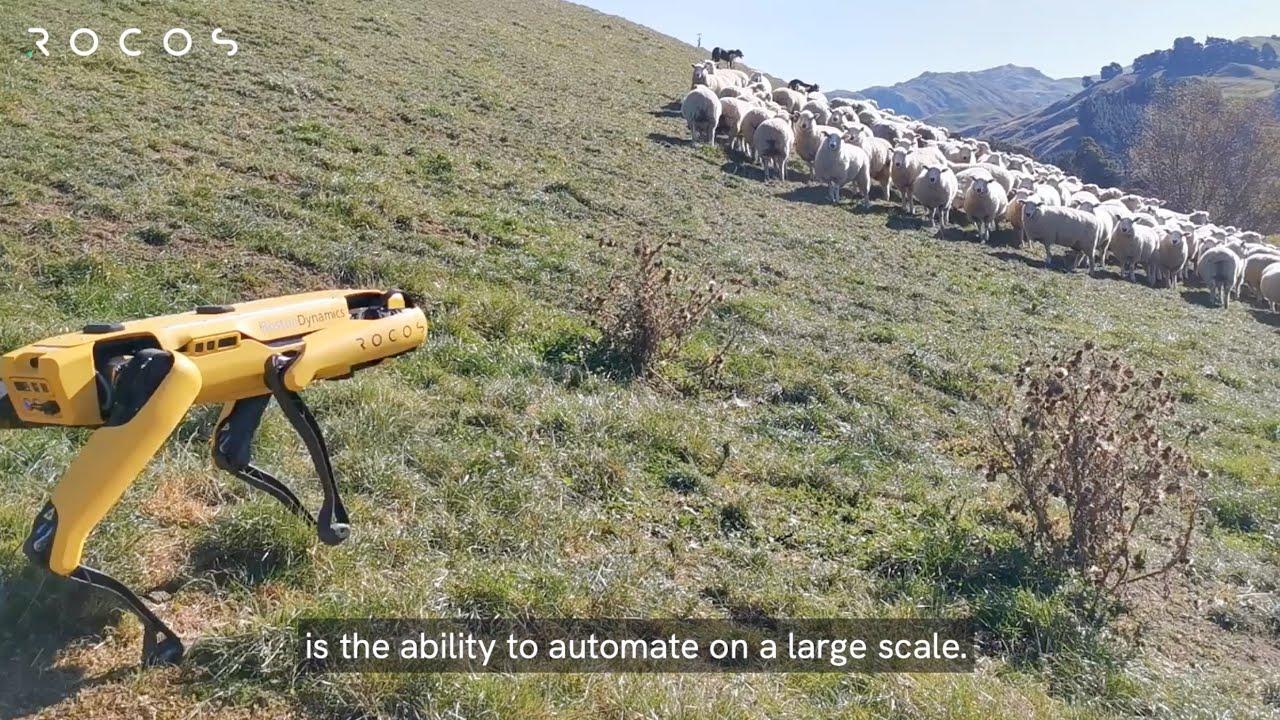 Robot Spot postao pastir na Novom Zelandu