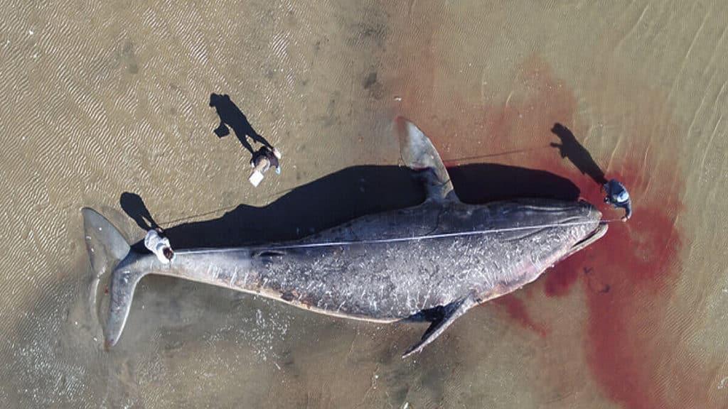 Znanstvenici tvrde da sivi kitovi u Tihom oceanu umiru od gladi