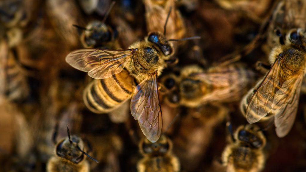 Populacija pčela stabilna u nizozemskim gradovima zahvaljujući posebnoj strategiji oprašivanja
