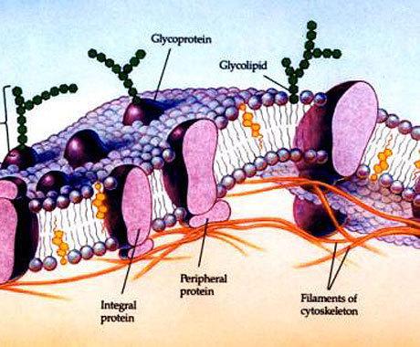 glycoprotein g